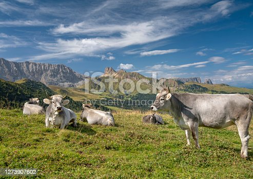 Cattle, Seiser Alm, Dolomites, Italy. Nikon D850. Converted from RAW.