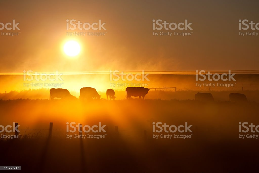 Cattle Silhouette on an Alberta Ranch stock photo