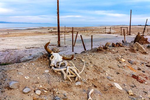 Cattle Steer (Cow) Skull in the desert near Salton Sea. Horns on the sand.