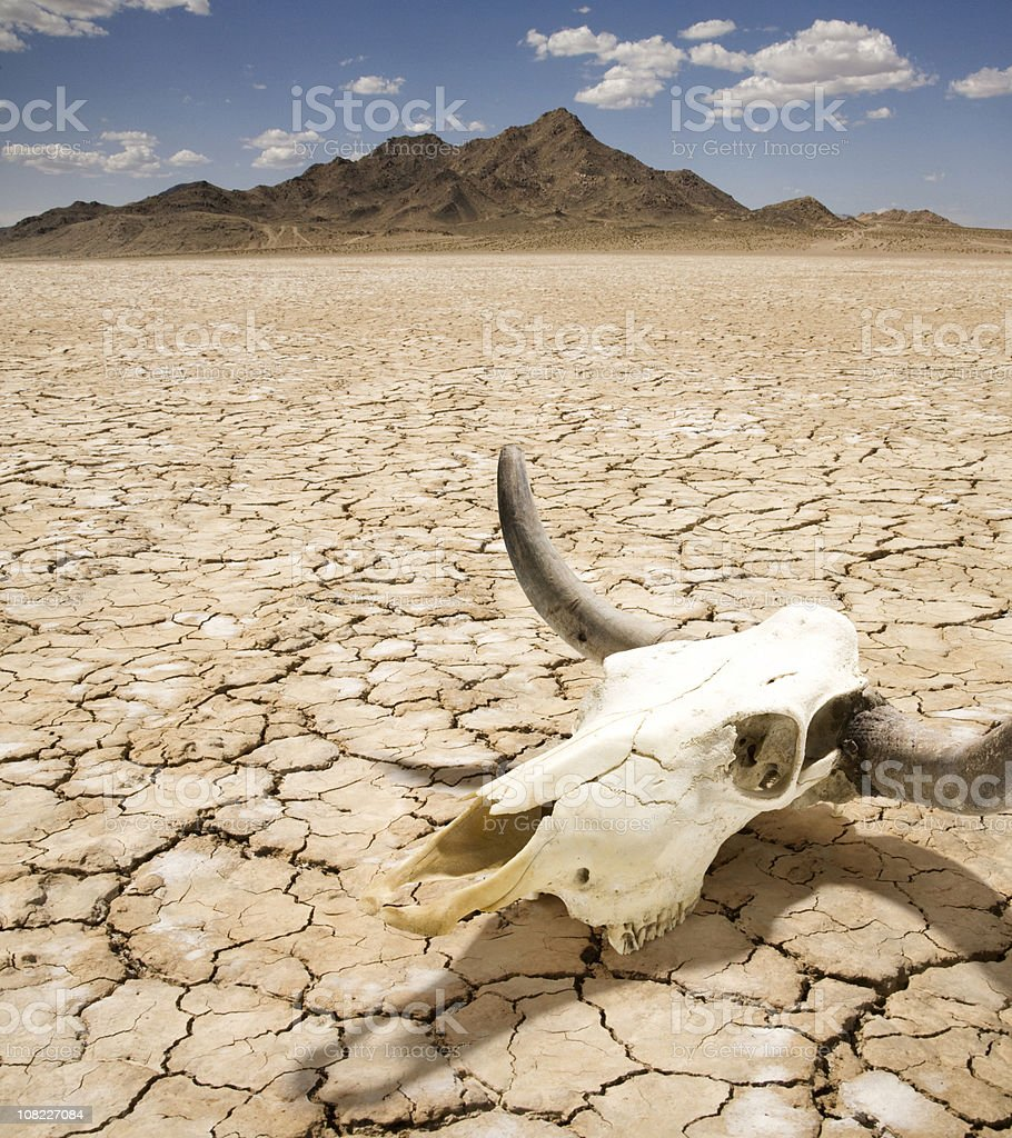 Cattle Steer Skull on Dry Desert Land stock photo