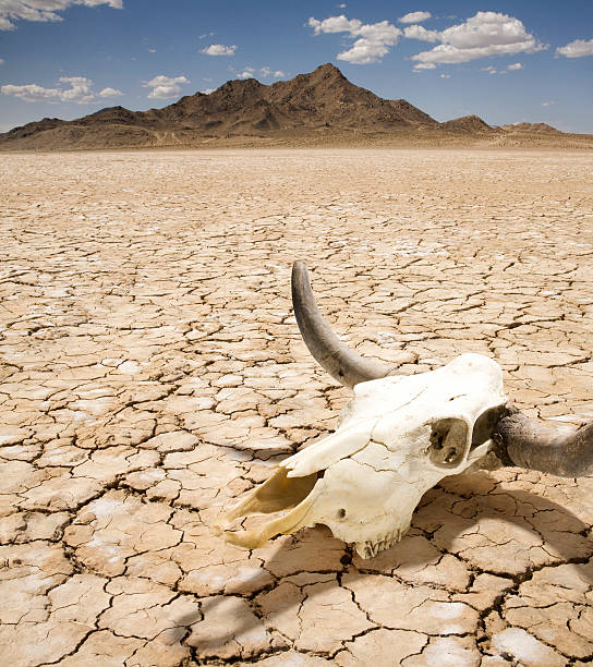 Cattle Steer Skull on Dry Desert Land  lake bed stock pictures, royalty-free photos & images