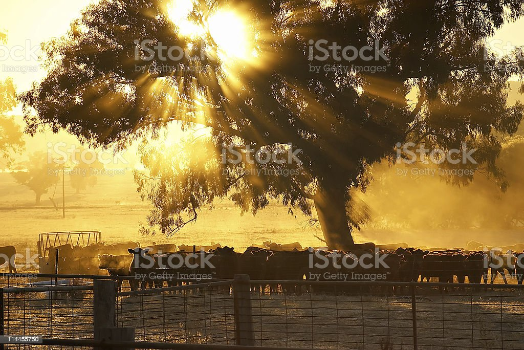 cattle sunrise stock photo