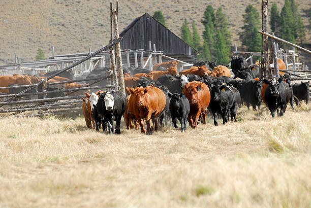 Cattle Turn Out stock photo