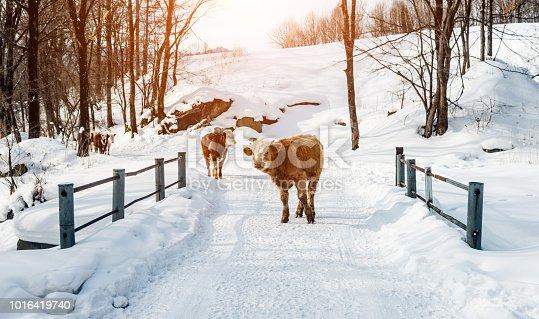 Cattle walking on the winter road.