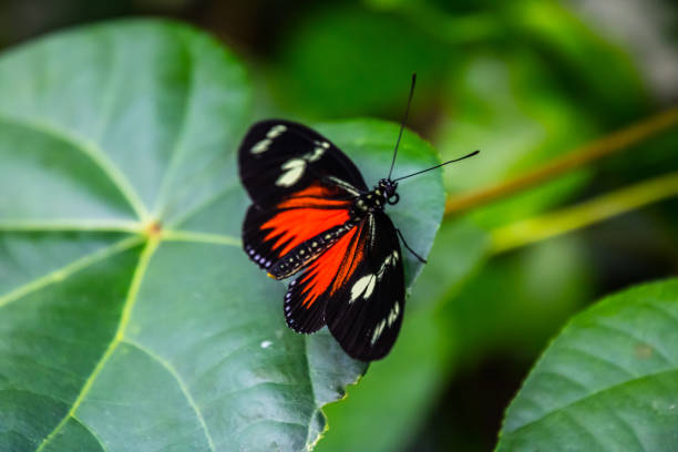 Cattleheart Butterfly (Parides iphidamas) stock photo