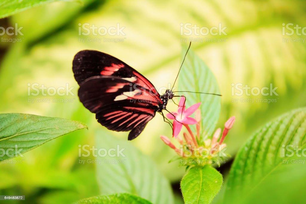 Cattleheart Butterfly (Parides iphidamas) stock photo