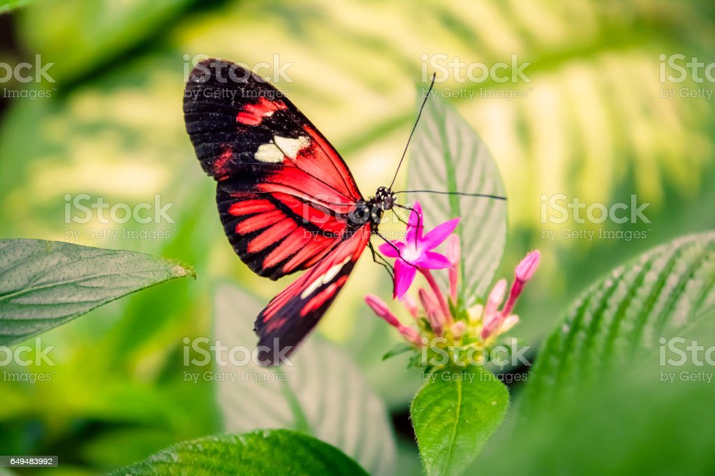 Cattleheart Butterfly (Parides iphidamas) royalty-free stock photo