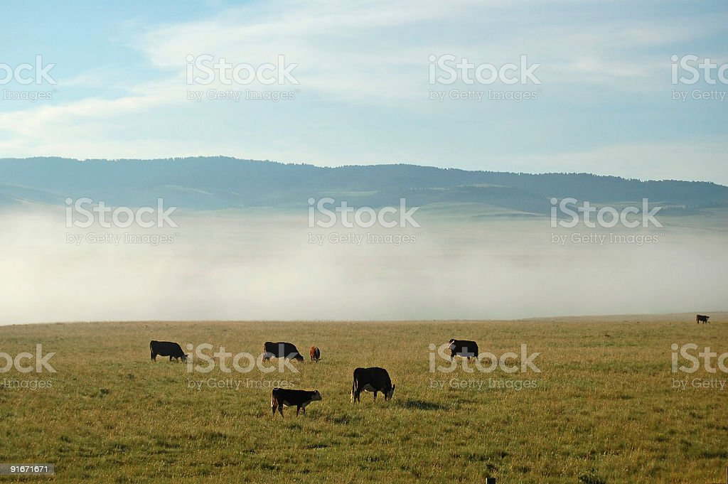 Cattle,Open Range, and Foggy Morning stock photo