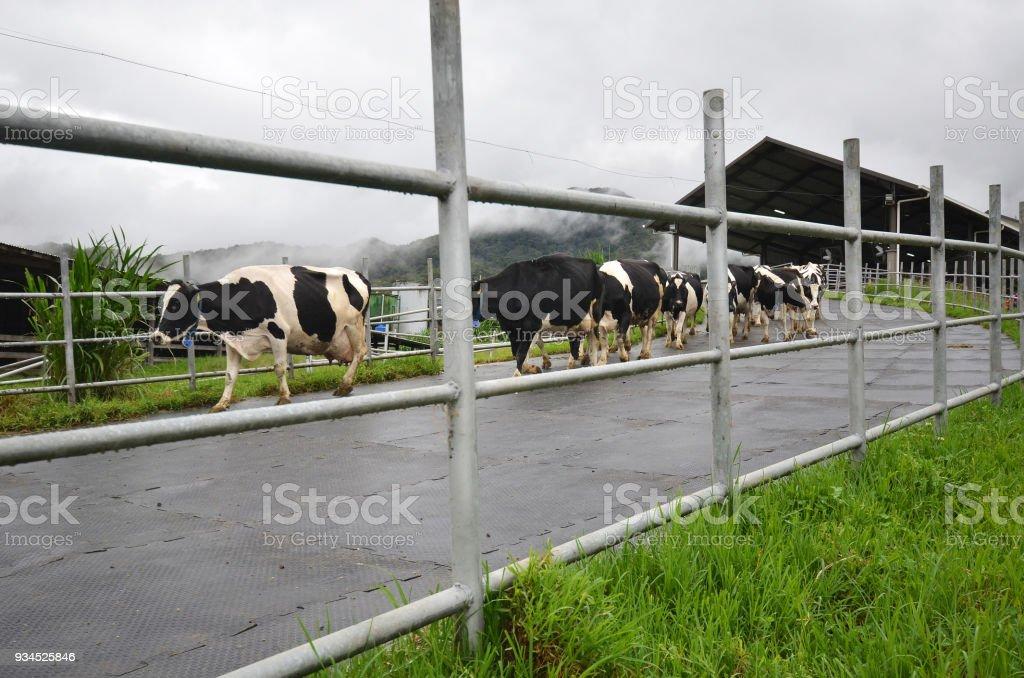 Cattles at Desa Dairy Farm Kundasang Sabah stock photo