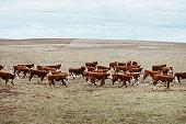cattles in a farm in south australia