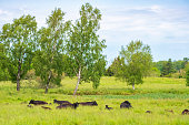 istock Cattles lying and resting on grass meadow 1265172656