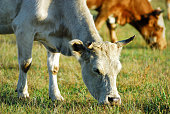 cattles are eating the grass