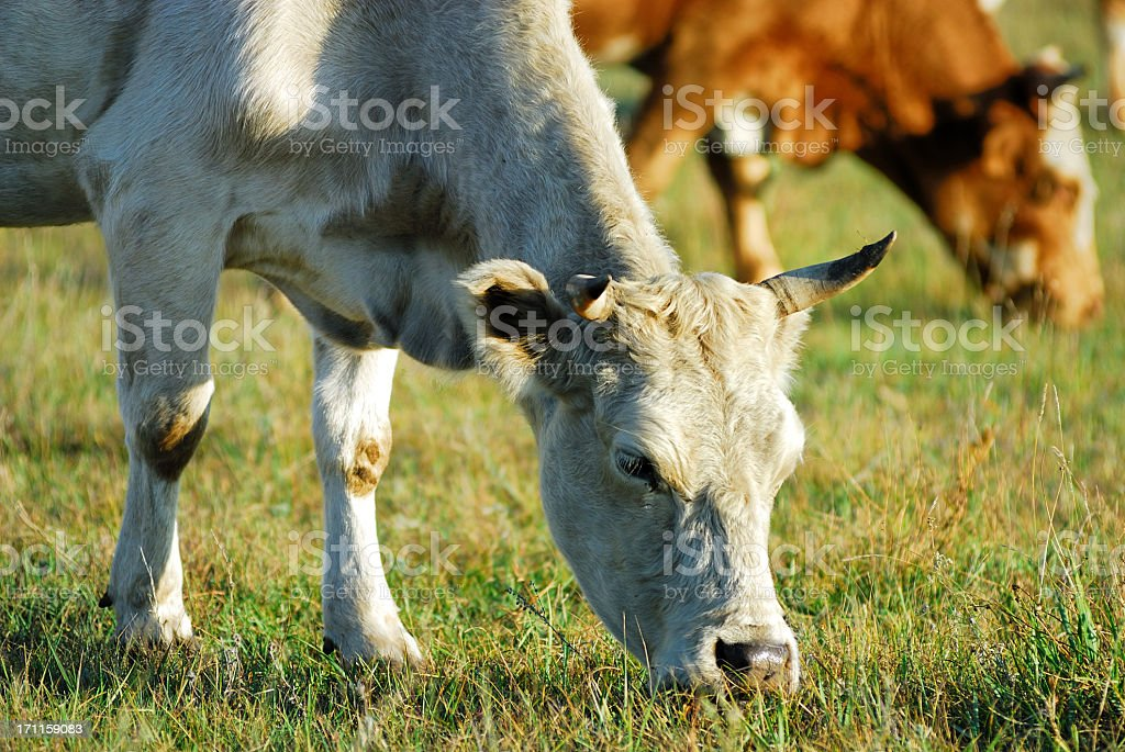 cattles stock photo