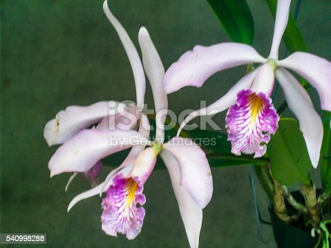 A close up portrait of two Cattleyas orchids. The Cattleya is a specie of orchid plant originally from Costa Rica, Lesser Antilles and Argentina. The plant has large and fragrant blooms which can have a wide variety of colors.