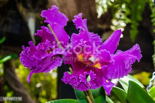 Cattleya purple hybrid orchid, with jungle vegetation background
