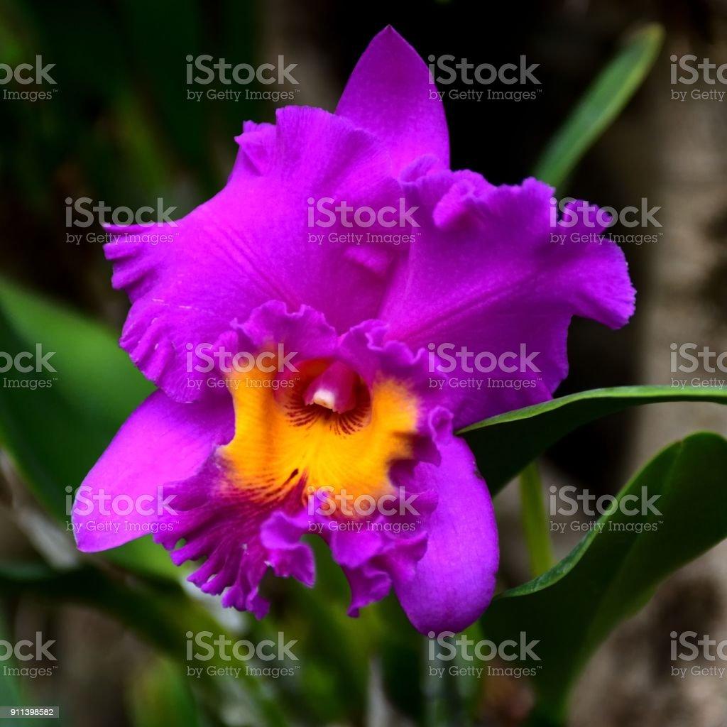 Cattleya hybrida(orchid) – Foto