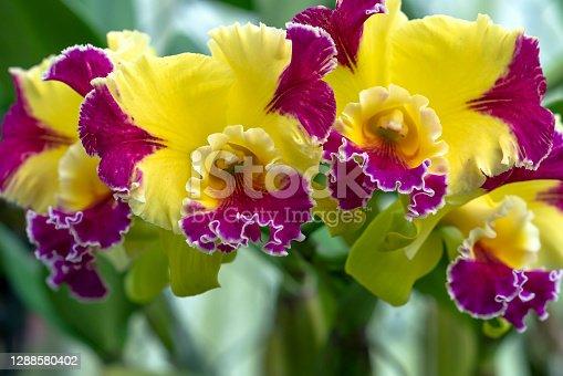 Cattleya Labiata flowers bloom in spring garden adorn the beauty of nature