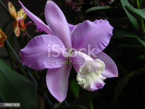 beautiful pink color cattleya species, waxy and long lasting flower with fragrant.