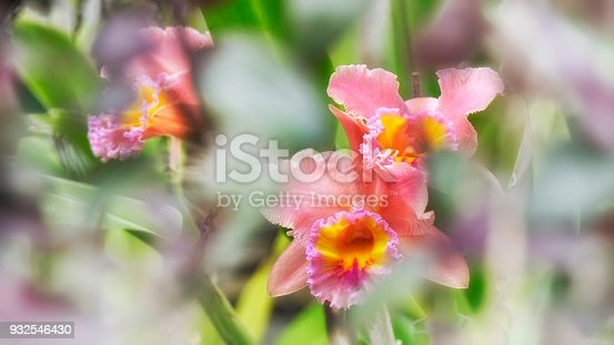 Beautiful cattleya orchid flowers in delicate pink and yellow colors in bright light