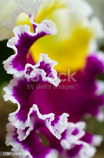 Macro of Cattleya orchid petal