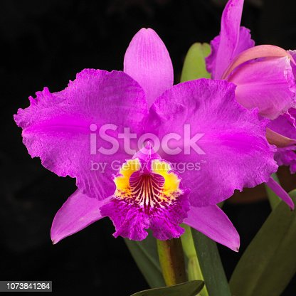 Cattleya orchid hybrid, magenta and yellow color. Studio photography on black background.