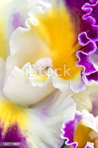 Macro image of a ruffled cattleya orchid