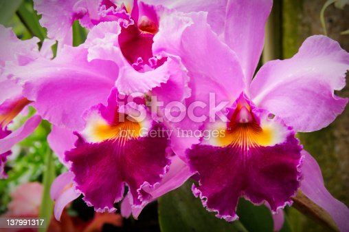 A colorful cattleya orchid. Focus is on the upper frill.