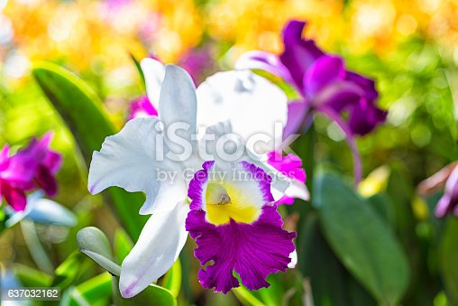 """Hybrid Cattleya orchid  is a genus of 113 species of orchids from Costa Rica and the Lesser Antilles south to Argentina. The species and hybrids of the Cattleya Alliance are likely the most popular orchids. Cattleyas are sometimes referred to as """"Queen of Flowers"""" because of their big showy blooms and are often used to make corsages."""