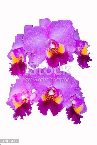 Cattleya orchid pink isolated on white background.