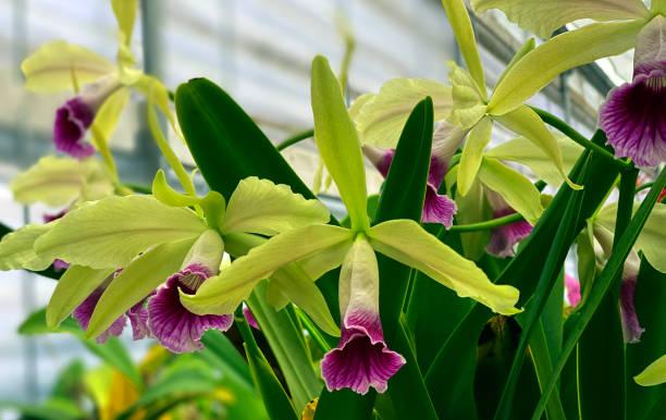 Cattleya Orchid Purpurata Greed Pink Lips stock photo