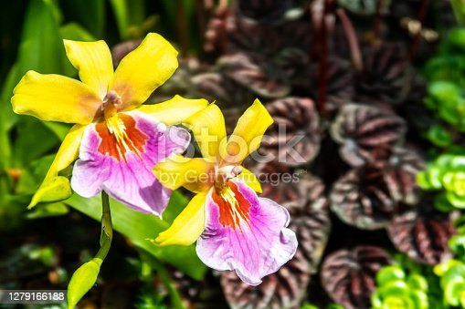 Cattleya orchid vivd yellow and pink flowers with tropical leaves in the background, copy space, Singapore.