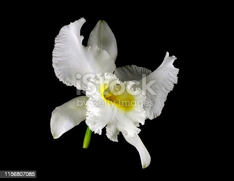 Very large full fragrant ivory-white cattleya flower (Cattleya lueddemanniana alba) with lemon-yellow throat and frilly lips isolated on a black bacground
