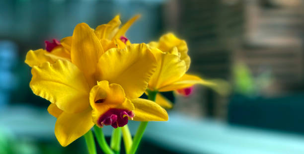 Cattleya Orchid Yellow Orange with Red Lip stock photo