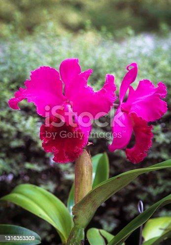 Cattleya orchids outdoors, Venezuela