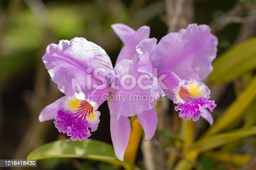 Cattleya Lueddemanniana orchid from Venezuela.