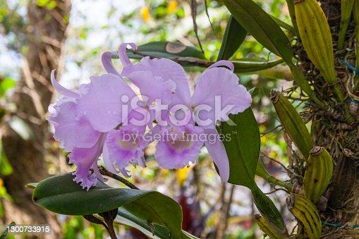 Cattleya warneri (the
