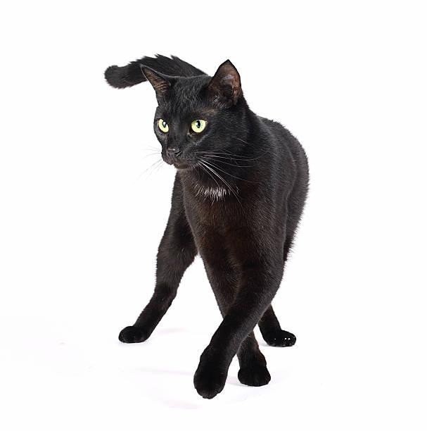 Catwalk black cat picture id513238044?b=1&k=6&m=513238044&s=612x612&w=0&h= l7ybynqokuzkhwnchpmdqmrinbnpi3 72wquofzxm8=