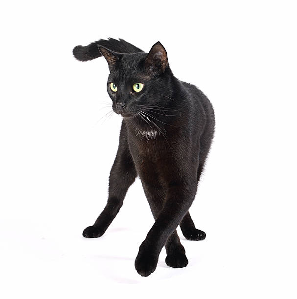 Catwalk black cat Beautiful black cat walking on a white background. Isolated on white. black cat stock pictures, royalty-free photos & images