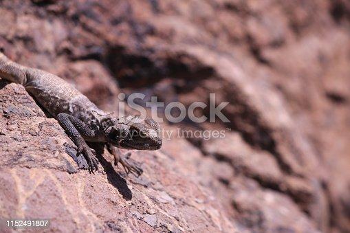 Dragon, Agama, Animal, Animal Wildlife, Desert, Iran