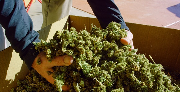 597927996 istock photo A Caucasian Man's Hands Picking up a Handful of Dry, Untrimmed Marijuana (Cannabis) Buds from a Cardboard Box Outdoors (Hemp) 1204090275