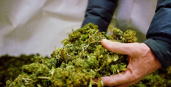 597927996 istock photo A Caucasian Man's Hands Picking up a Handful of Dry, Untrimmed Marijuana (Cannabis) Buds in an Indoor Growing Facility (Hemp) 1204090281