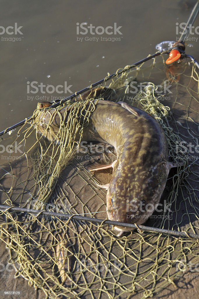 Caught burbot royalty-free stock photo