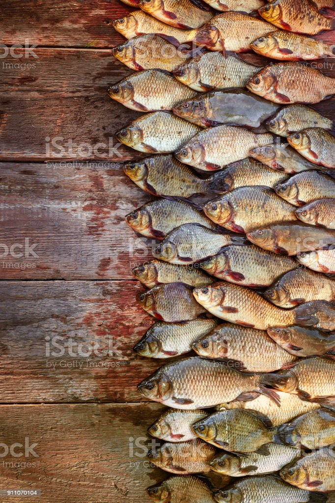 Caught carp fish on wood. Catching freshwater fish on wood background. A lot of bream fish, crucian or roach on natural wood background. Background from big quantity of river fish on wooden boards. Free space for your text stock photo