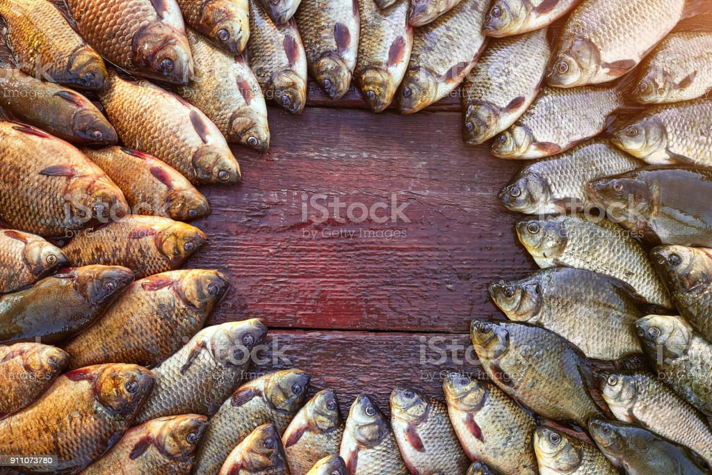 Caught carp fish on wood. Catching freshwater fish on wood background. Round a lot of bream fish, crucian or roach on natural wood background. Background from big quantity river fishes on wooden boards laid out by a circle. Free space for your text stock photo