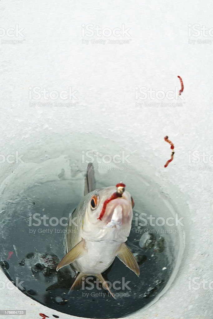 caught fish royalty-free stock photo