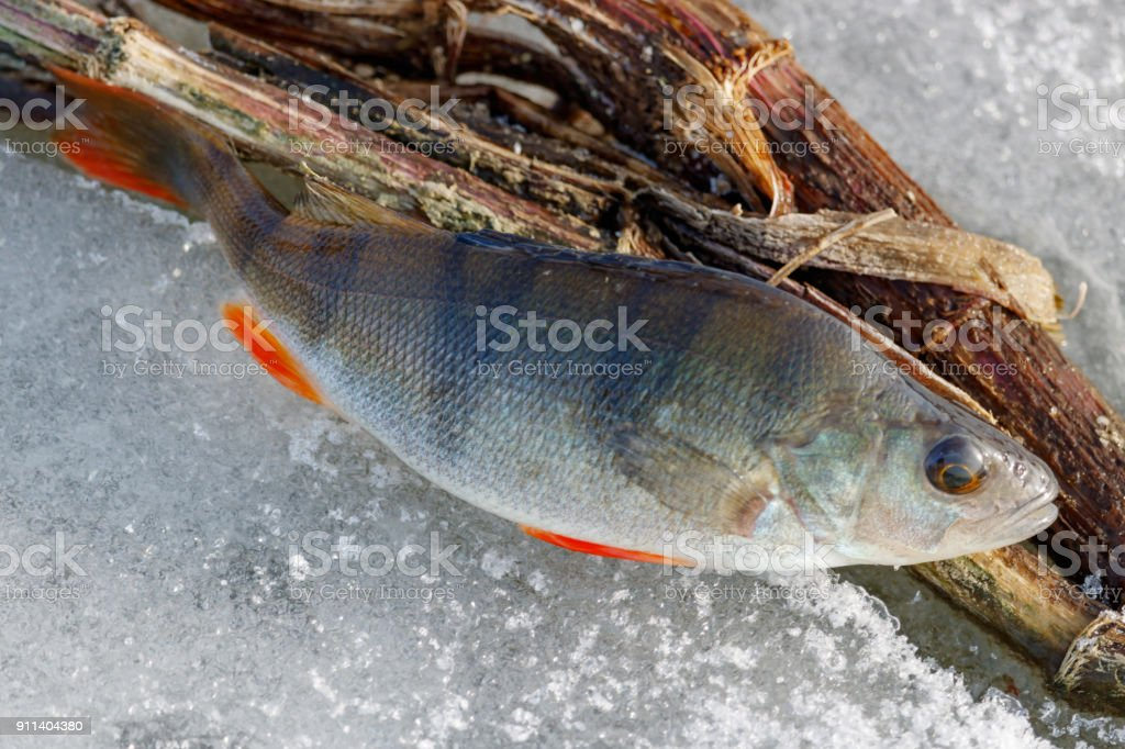 Caught Fresh Perch Lies On The Ice Of The Lake Ice Fishing