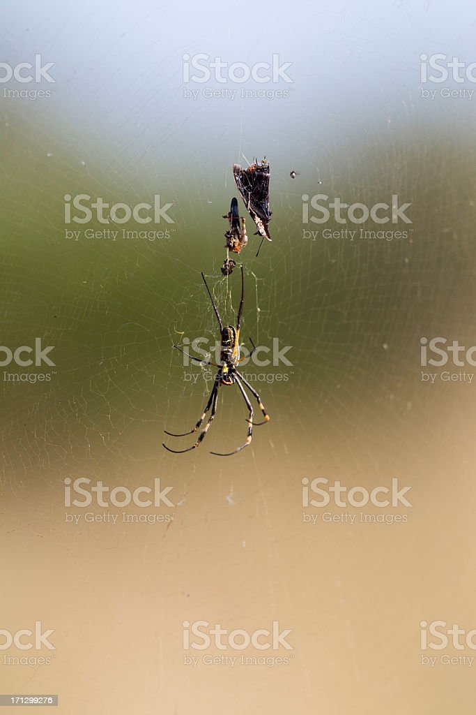 Caught in a Web royalty-free stock photo