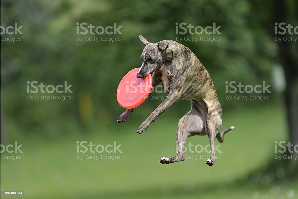 Caught in action Whippet with red frisbee caught in the air, shallow DOF Accuracy Stock Photo