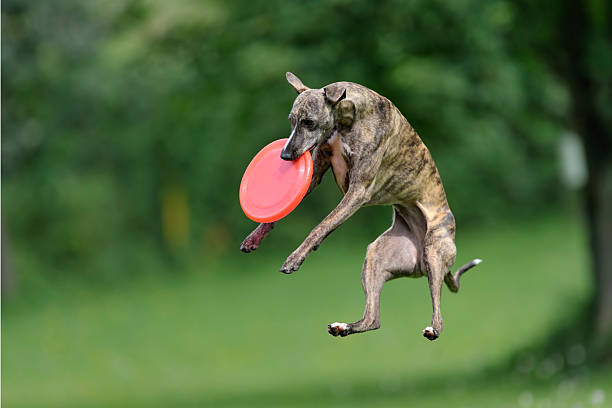 Caught in action Whippet with red frisbee caught in the air, shallow DOF sight hound stock pictures, royalty-free photos & images