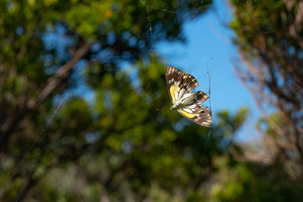 Caught in web one butterfly Caught in web one caper white yellow and brown butterfly ensnare stock pictures, royalty-free photos & images